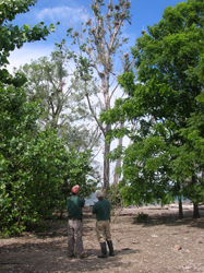Biologists Jim Farquhar and Mike Smith inspect the cormorant nests in the treetops.  (Photo by Karen Kelly)