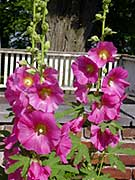 Old-fashioned hollyhocks stand guard in one corner of the King's Garden.
