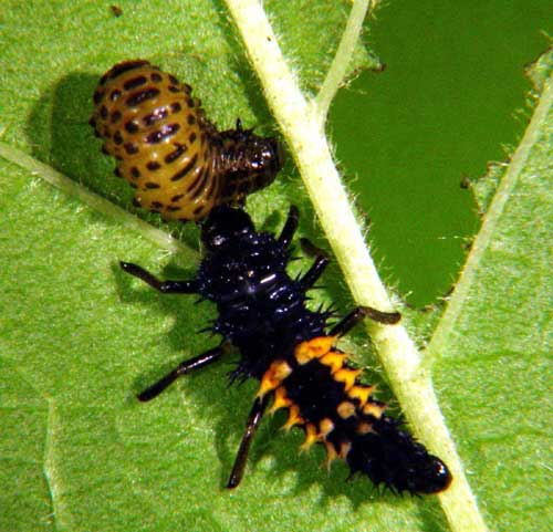 how to attract and kill asian beetles