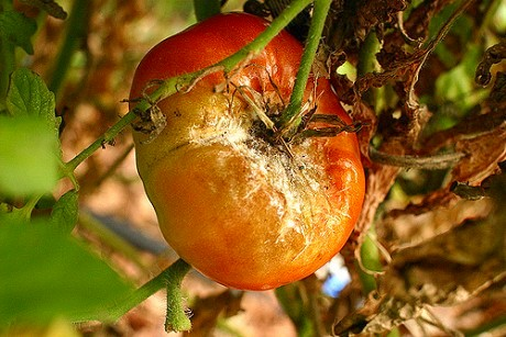 Late blight on a tomato. Photo: Kirsten Jennings via flickr, some rights reserved.