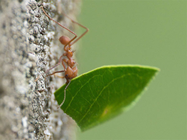leaf cutter ants and fungus relationship help