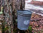 One of the 5,500 sap buckets at Yancey's Sugarbush near Croghan.