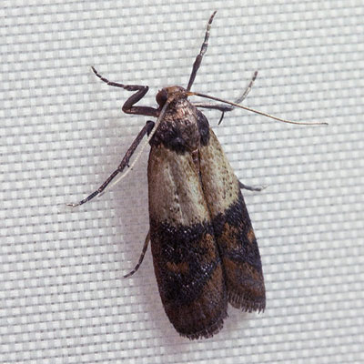 Indian Meal Moth. (Source: Wikipedia)