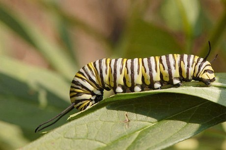 Monarch larva feed on Milkweed, which grows in abundance along North Country roadsides. Photo: Wikipedia
