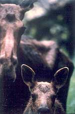 Adirondack moose cow and calf (Copyrighted photo courtesy of WCS)