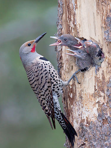 Northern Flicker (red-shafted variety) feeding young. Photo: Larry Master, used with permission
