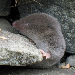 Northern Short-tailed Shrew. Photo: Giles Gonthier