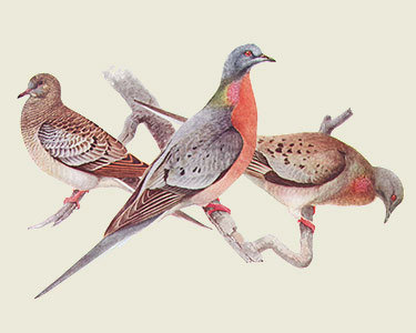 "Left to right: Passenger Pigeons, juvenile, male and female. Artist: <a href=""http://en.wikipedia.org/wiki/File:Ectopistes_migratoriusAAP042CA.jpg"">Louis Agassiz Fuertes</a>, circa 1910."