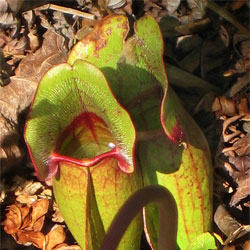Pitcher plants at Beaver Lake Nature Center, Baldwinsville NY. Photo: Don Rogers via Flickr, some rights reserved