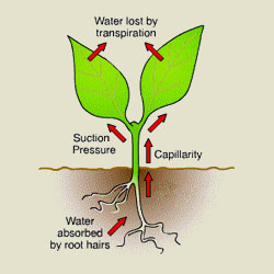 How fluids move in plants.