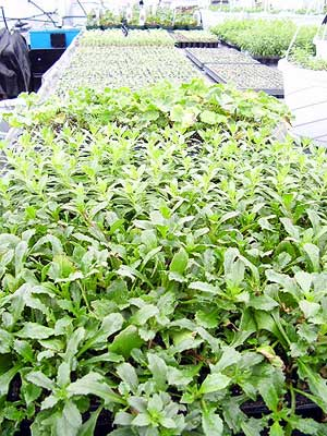 Flats of seedlings were kept warm this winter using waste veggie oil.