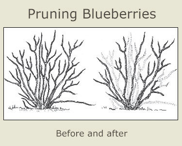 Pruning a blueberry bush. Image: University of Missouri Extension