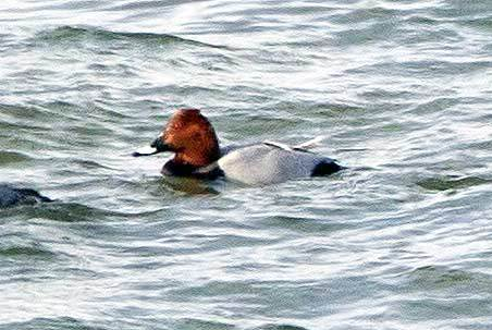 A Common Pochard, a rare European duck, found among other ducks on Lake Champlain earlier this month.  Photo: Larry Master