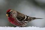 A male Common Redpoll (photo: Larry Master, Lake Placid)<br /><br />