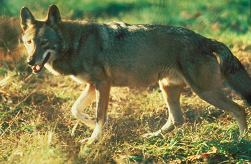 Scientists say red wolves like this one interbred with