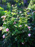 A Damask rose bush at Old Market Farm.