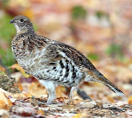 Ruffed Grouse - Algonquin Provincial Park, Ontario, Canada (Wikipedia)