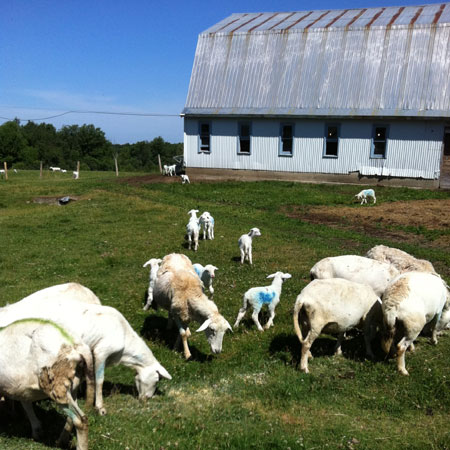 Sheep at Downing Acres in Burke