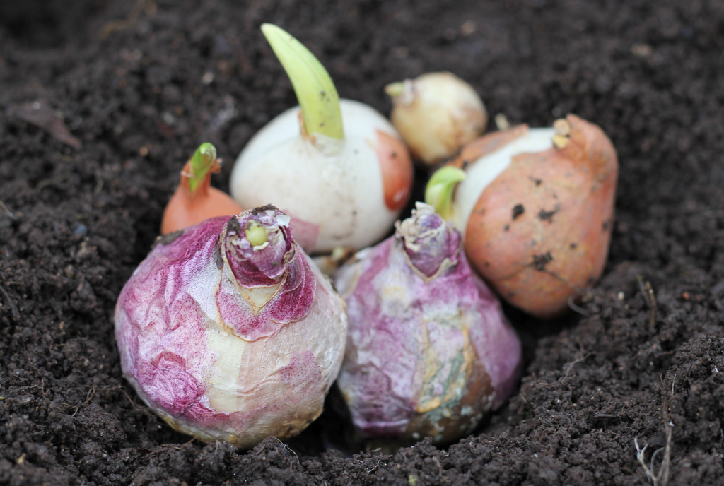 When To Plant Bulbs 28 Images Eartheasy Blogfall Is