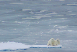 Polar bears on sea ice in the Arctic Ocean. Photo courtesy of Jessica K Robertson, USGS