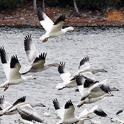 Snow geese off Point au Roche on Lake Champlain. Photo: Tom Cohen