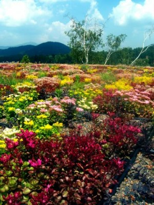 Golden Arrow's green roof in full bloom (Source:  Golden Arrow)
