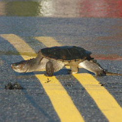 Snapping turtle crossing the road. Photo: Matt Foley (submitted to NCPR's Hurricane Irene album)