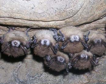Bats infected with White Nose Syndrome (NYS DEC)