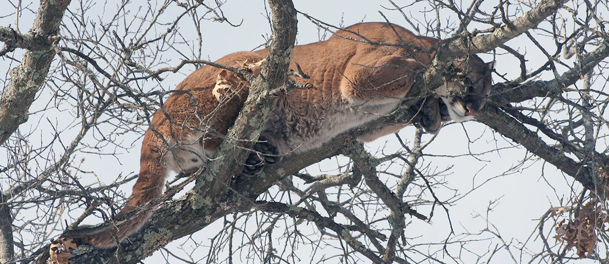 "Young, male cougar in a tree in northwest Wisconsin. Photo: <a href=""https://www.flickr.com/photos/widnr/7590280580/"">Wisconsin Dept. of Natural Resources</a>, Creative Commons, some rights reserved"