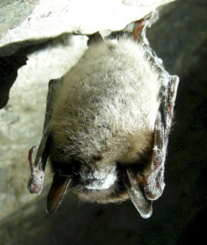 An infected bat at the Greeley Mine in Vermont (Photo: USFWS)