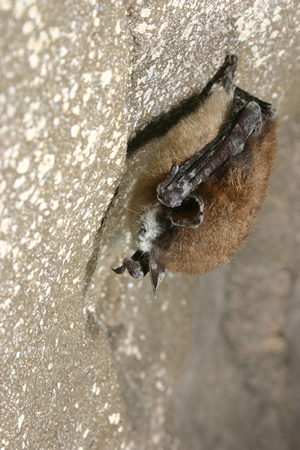 White nose syndrome in a New York cave (Photo:  Al Hicks, NYS DEC)