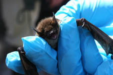 Are Federal researchers moving fast enough to protect infected bats? (Photo:  Greg Thompson/USFWS)